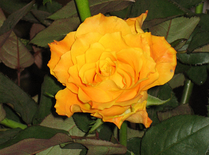 Rosen auf meinem Schreibtisch